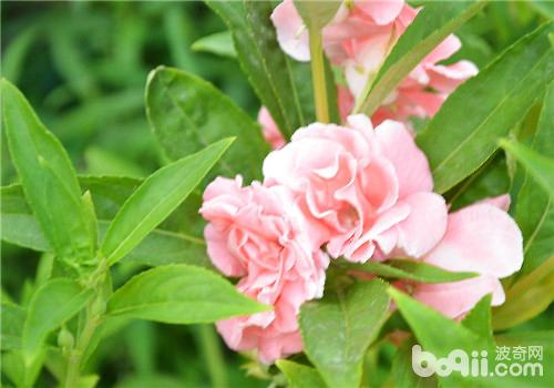 凤仙花播种繁殖的方法及注意事项