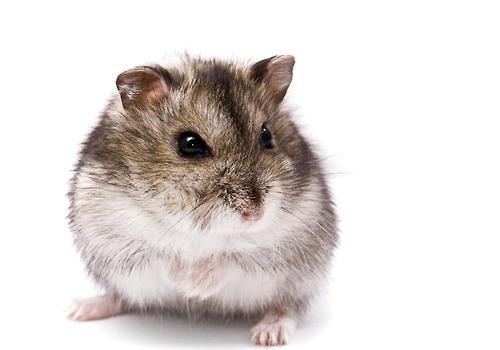 仓鼠难产的原因有哪些
