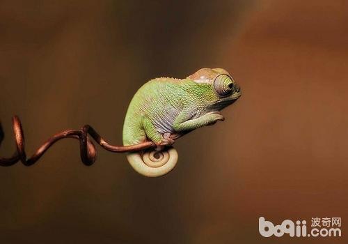 蜥蜴的外貌并不称得上可爱