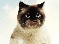 猫咪的基因缺陷——有缺陷也是一种美?