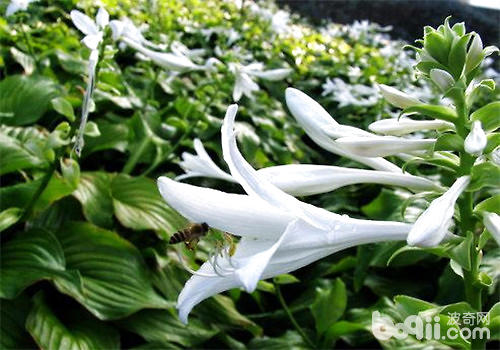 玉簪花的栽培要点