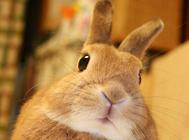 了解兔子的磨牙声