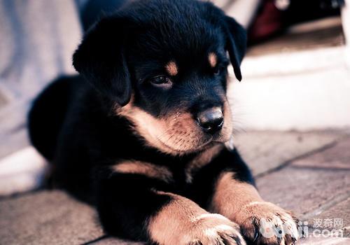 狗狗出现食管梗塞问题怎么办