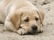 引起犬心肌炎的原因及预防