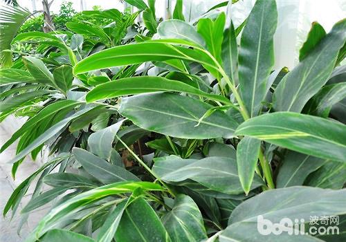 花叶艳山姜的栽培要点|观叶植物栽培-波奇网百科大全