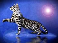 孟加拉豹猫选购指南