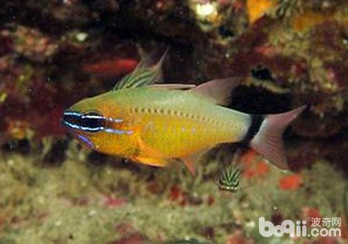 它们以浮游动物,小型底栖动物或小鱼为食