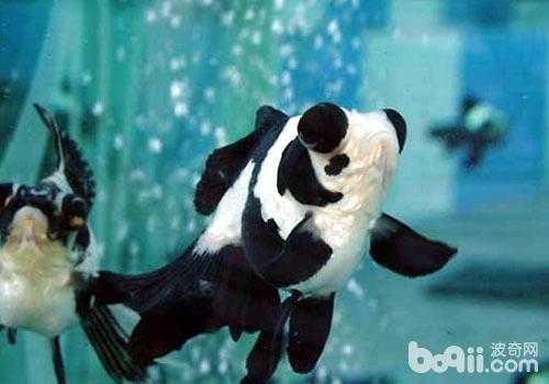 趴在球上的熊猫简笔画-龙背种金鱼饲养方法