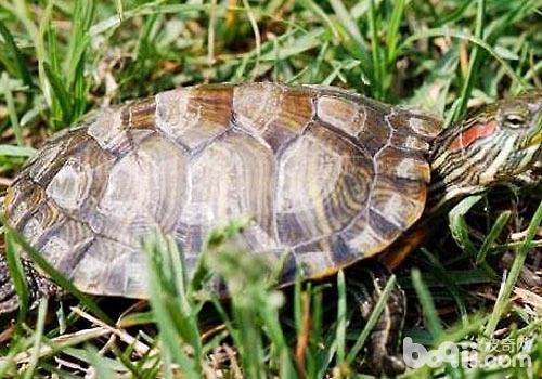 冷水龟与仿野生龟的区别