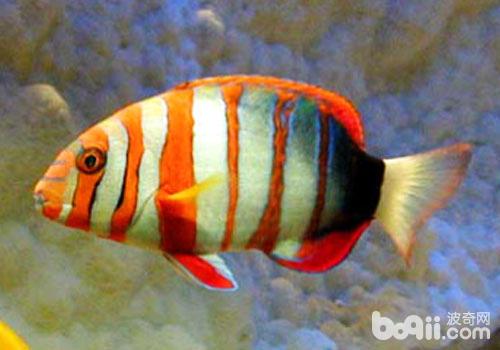 隆头鱼科观赏鱼饲养方法