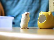 益生菌对仓鼠有哪些作用