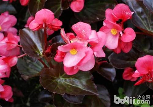 四季海棠的品种简介