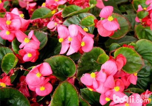 四季海棠常用的繁殖方法介绍