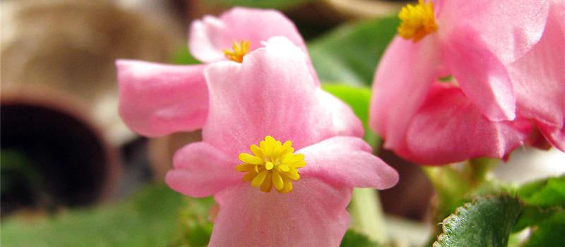 大叶海棠的繁殖方法_四季海棠常用的繁殖方法介绍|观花植物繁殖-波奇网百科大全