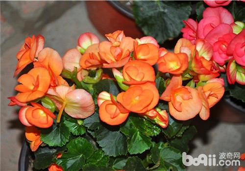 四季海棠的栽培要点