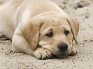 母犬卵巢囊肿导致不孕病例分析