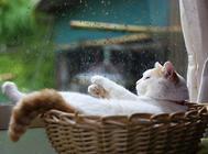 猫血栓的流行病学与治疗