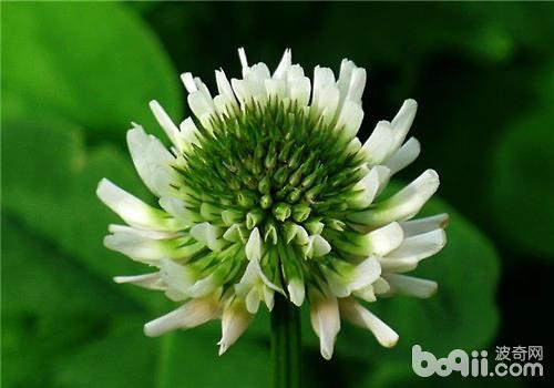 白车轴草又名白三叶,白花三叶草等