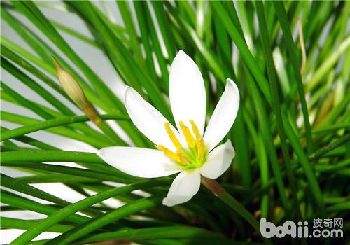 葱兰的播种繁殖方法及注意事项