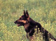 国内的警犬犬种有哪些