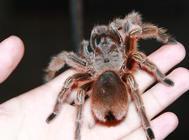 杜比亚蟑螂作为蜘蛛食物有何好处