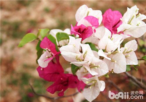 叶子花的外形特点及品种简介