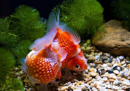 如何减少金鱼水中寄生虫