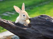 如何预防兔急性胃扩张