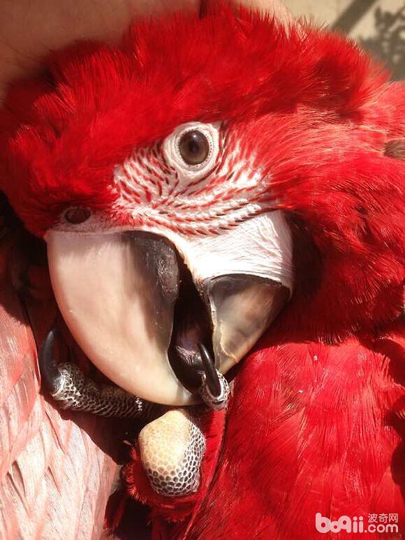 金刚鹦鹉感冒的诊断与治疗