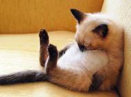 新手布偶猫饲养指南