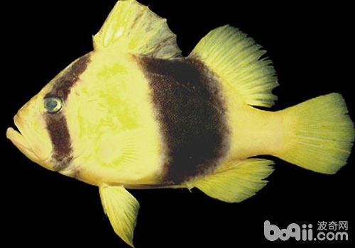 观赏海鱼-石鲈鱼科海水鱼饲养方法