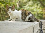 苏格兰折耳猫的繁殖与培养