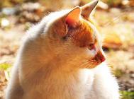 勇敢的狩猎者——挪威森林猫