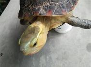 黄缘闭壳龟头部肿瘤手术