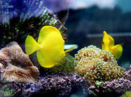 鹰鱼科海水鱼饲养方法