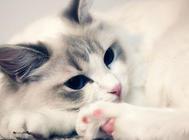 怎么做好布偶猫的训练工作