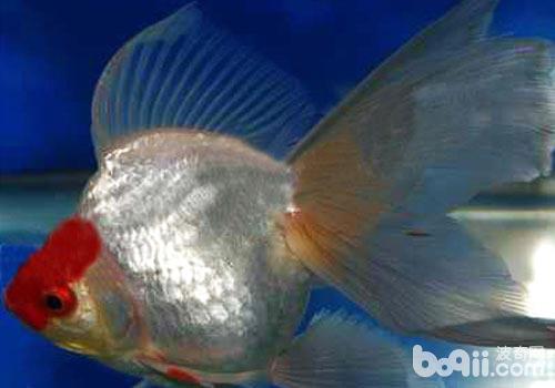文种金鱼饲养方法