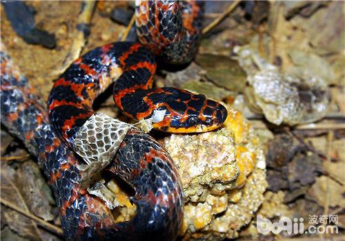 赤练蛇的喂食要点