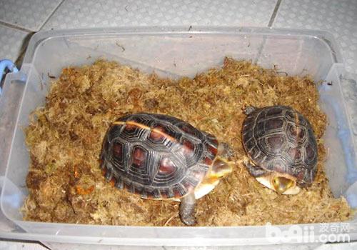 冬眠的乌龟醒来后怎么喂食?-龟冬眠醒后喂什么