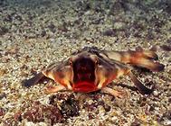 蝙蝠鱼科海水鱼饲养方法