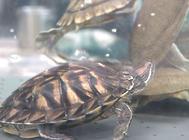 乌龟冬眠要放水吗?
