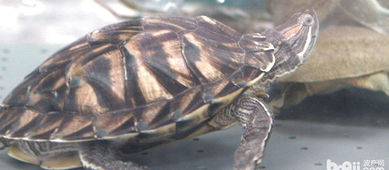 乌龟冬眠要放水吗