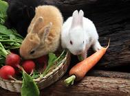 兔子常见中毒及处理