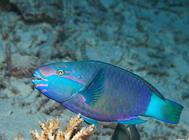 蝶鱼科海水鱼饲养方法