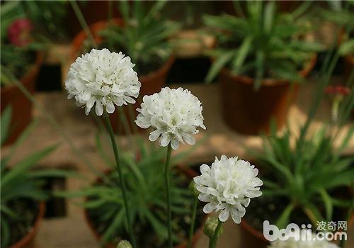海石竹的品种简介|观花植物栽培-波奇网百科大全