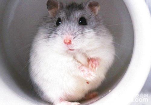 怎么培育仓鼠