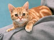 猫咪心力衰竭的发病机理及症状