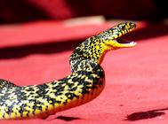 怎么对待大王蛇开口难的问题