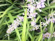 多花指甲兰的繁殖方法介绍