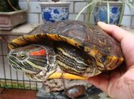 龟龟大便不成形都是肠胃炎吗?